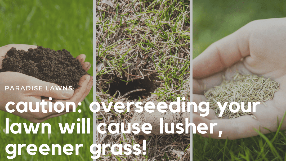 Caution: Overseeding your lawn will cause lusher, green grass!