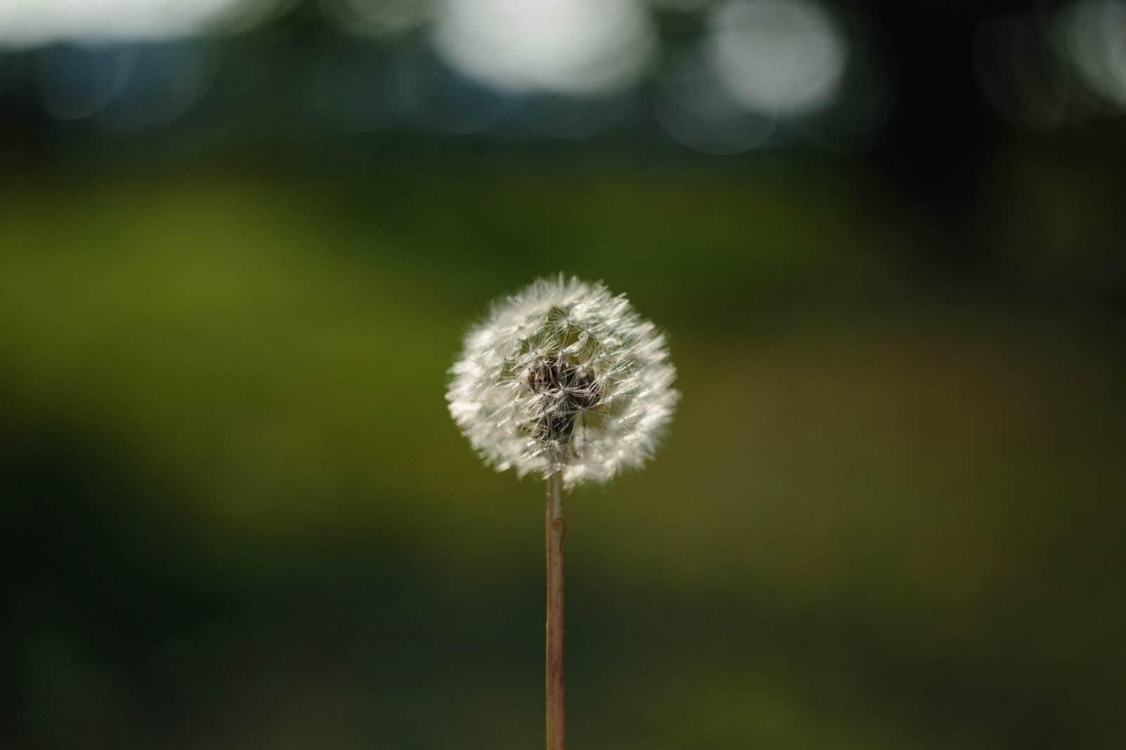 omaha, omaha dandelion weed treatment