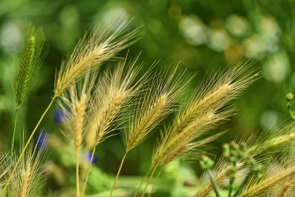 omaha foxtail, lawn care
