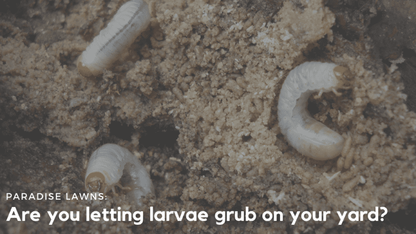 larvae in the ground of an Omaha lawn