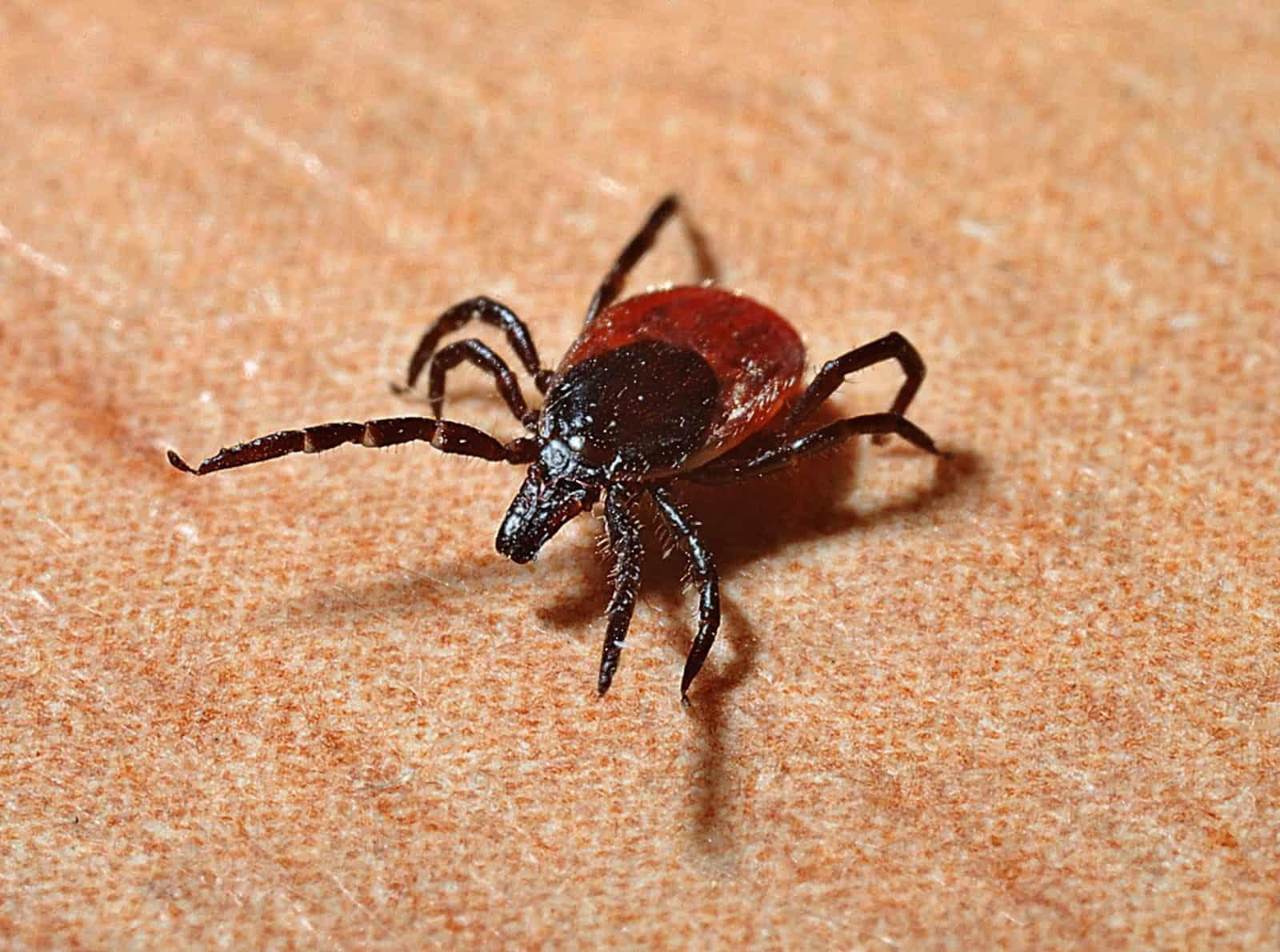 closeup image of a tick