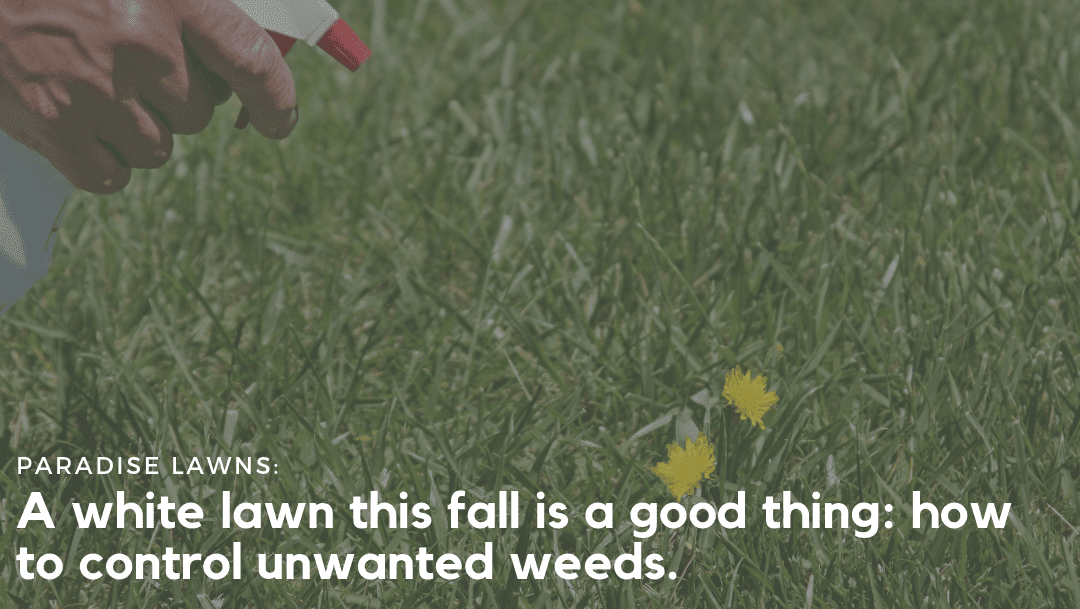 A white lawn this fall is a good thing: how to control unwanted weeds