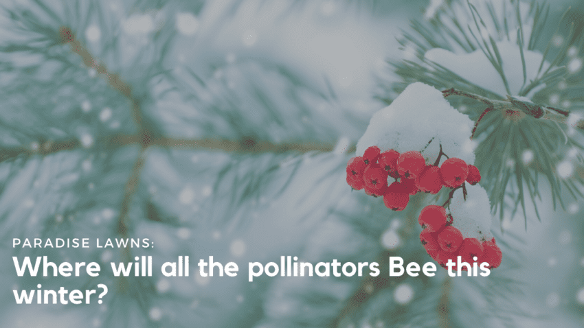 "Red berries on an evergreen tree covered in snow, with ""where will all the pollinators Bee this winter"" written on it from Paradise Lawns in Omaha"